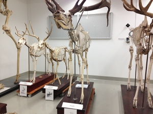 Some of the mammal skeletons in the collections of the Canadian Museum of Nature.