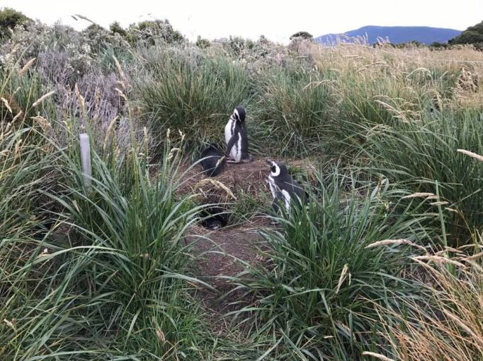 magellanic-penguins-1